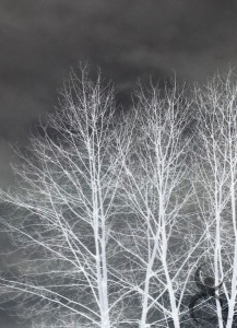Day 365: White Trees in Winter